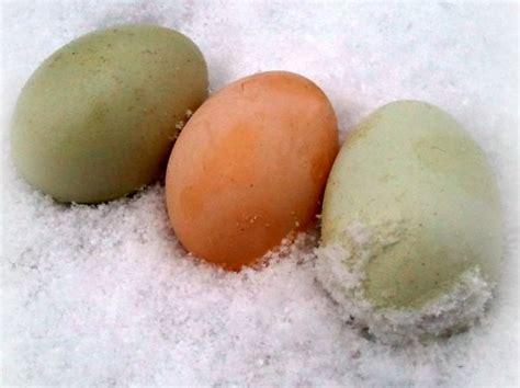 frozen eggs preventing frozen chicken eggs countryside network