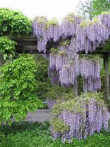 Wisteria, Garden