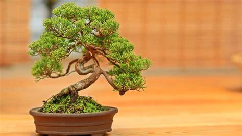 bonsai äste schneiden bonsai kaufen schneiden und pflegen ndr de ratgeber