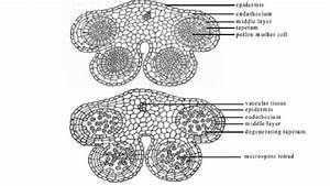Development Of Male And Female Gametophyte