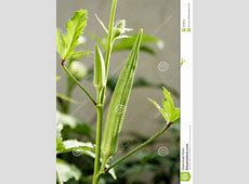 Okra plant stock photo Image of horticulture, eating