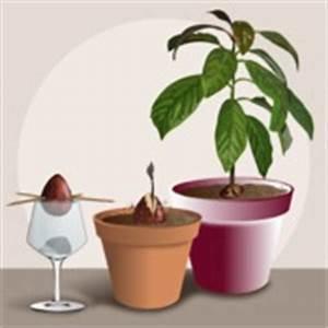 Comment Faire Pousser Des Avocats : faire pousser un avocat jardinage ~ Melissatoandfro.com Idées de Décoration