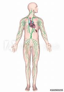 U0026quot Human Lymphatic System  Unlabeled   U0026quot  Stock Photo And