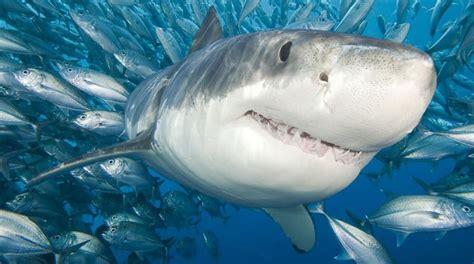 Rino Shark