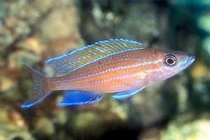 Blue Neon Paracyprichromis nigripinnis Herring Cichlid