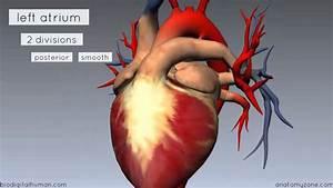 Heart Anatomy - Left Atrium - 3D Anatomy Tutorial - YouTube