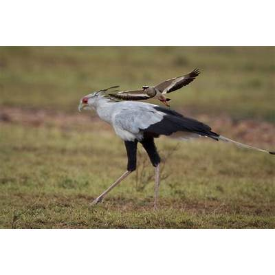 Feather Tailed Stories: Secretary Bird (Africa Series)