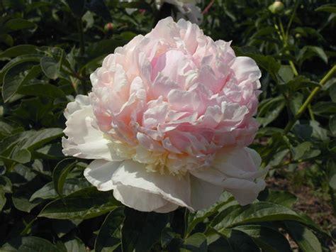 types of peony types of peony flowers