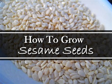 grow sesame seeds