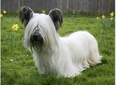 Skye Terrier Puppies, Rescue, Pictures, Information