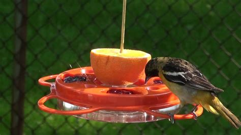 baltimore orioles feeding   special guest youtube