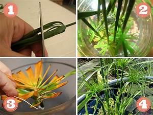 Bouture Plante Verte : comment faire une bouture de papyrus ~ Melissatoandfro.com Idées de Décoration