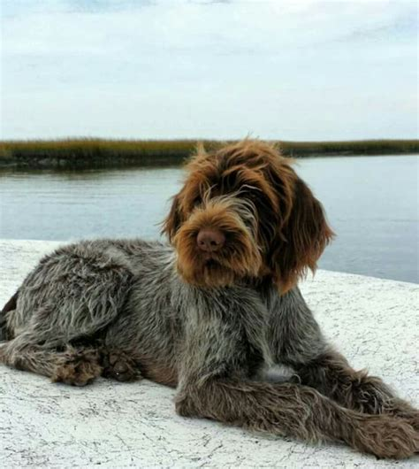 griffon german wirehaired pointer shedding the 25 best pointers ideas on german