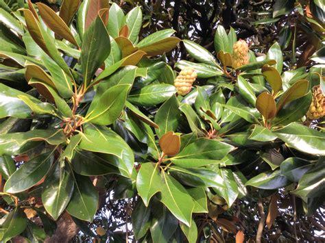 gummibaum im freien gummibaum frucht 187 aussehen eigenschaften und mehr
