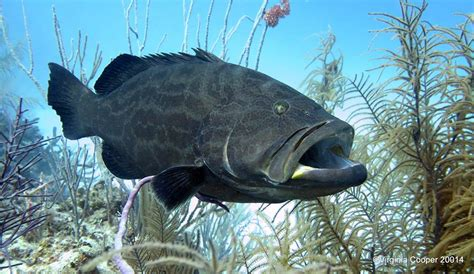 grouper fish bahamas reef gulf groupers species coral waters skin cooper sea marine food protected effective areas analysis abaco frsh