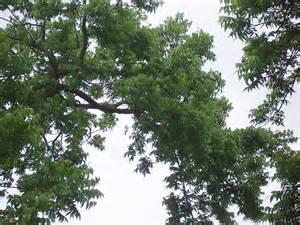 state tree pecan tree