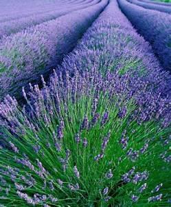 Lavendel Schneiden Im Herbst : saatband lavendel von bakker auf kaufen ~ Lizthompson.info Haus und Dekorationen
