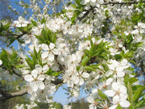 white flowering plum tree types of flowering plum trees and useful tips for their care