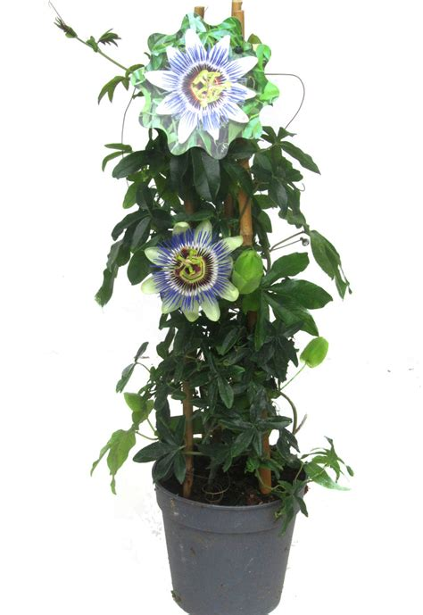 passiflora caerulea winterharte passionsblume