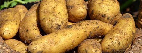 cuisiner des pommes de terre ratte l 39 info qu 39 il me faut sur la pomme de terre