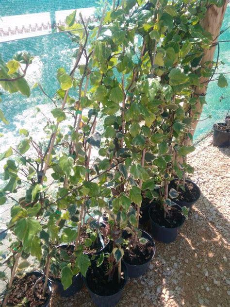 plantes grimpante pepiniere laroubinefr