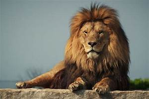Lions among species at extinction risk in updated IUCN red ...