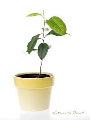 baum stecklinge ziehen einen zitronenbaum selber ziehen zeitvertreib f 252 r kleine und gro 223 e hobbyg 228 rtner zitronenbaum