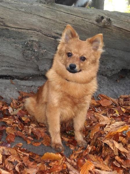 honden fotowedstrijd vos  het bos