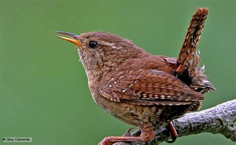 bbc nature wren videos news and facts