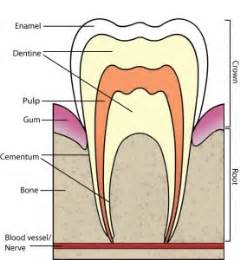 Tooth Bone Diagram by Periodontal Problems Bone Broth Key To Recovery