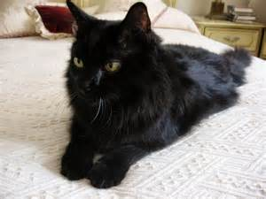 Black Long Haired Cat Breeds