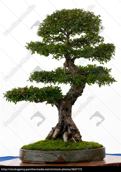 chinesische ulme bonsai chinesische ulme als bonsai stockfoto 3637173 bildagentur panthermedia