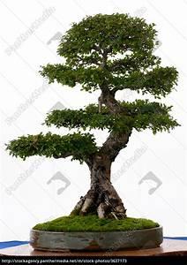 Bonsai Chinesische Ulme : chinesische ulme als bonsai stockfoto 3637173 bildagentur panthermedia ~ Sanjose-hotels-ca.com Haus und Dekorationen