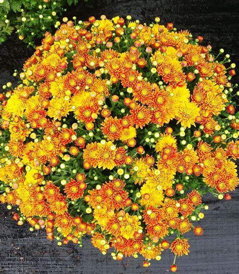 Mums Raleigh | Fall Plants in NC | Fairview Garden Center