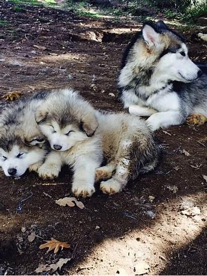 Alaskan Malamute Wolf Cachorros Sus