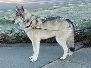 Red Saarloos Wolfhound