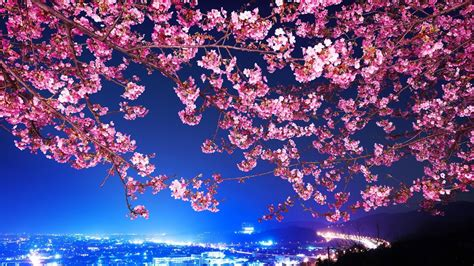 Cherry Blossom Hd Wallpaper (71+ Images