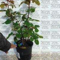 pot de fleur en anglais le rosier generosa paul bocuse des fleurs orang 233 au parfum fruit 233