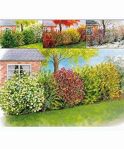 Blühende Sträucher Sichtschutz : kaufen sie jetzt heckenpflanze vier jahreszeiten hecke ~ Lizthompson.info Haus und Dekorationen