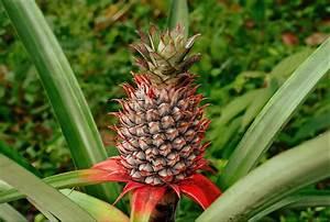 Plant D Ananas : pineapple wikipedia ~ Melissatoandfro.com Idées de Décoration