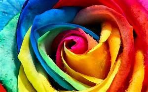 FLOWER [42] rainbow rose - for Jersey Girl ...