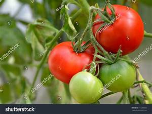 Red And Green Tomatoes In The Garden Stock Photo 111289565 ...