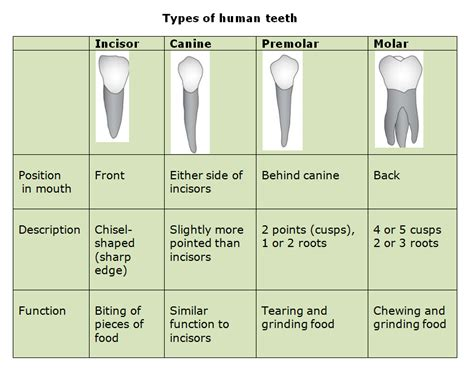 53 human teeth and dental decay biology notes for