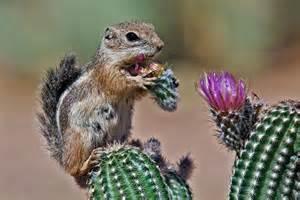 Harris Antelope Ground Squirrel