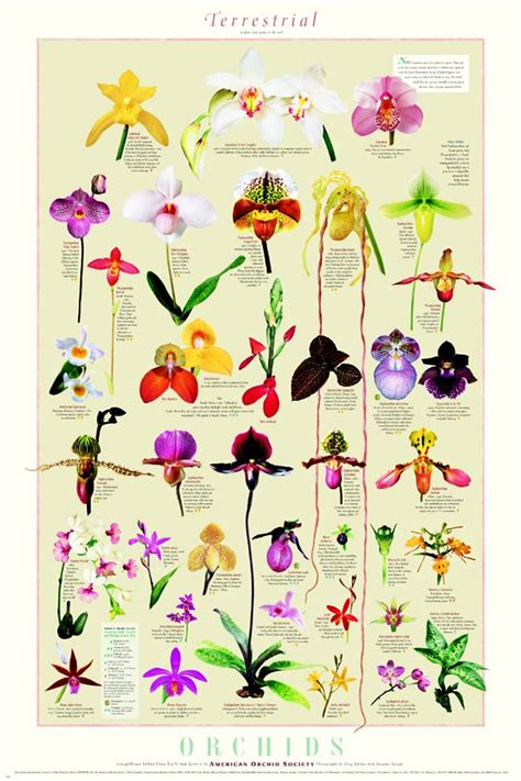 types of orchids orchids types list www imgkid com the image kid has it