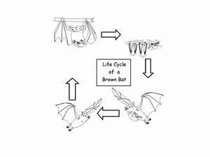 Life Cycle Of A Bat