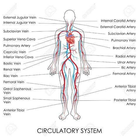 circulatory system  labels