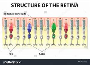 Eye Vision Structure Retina Rods Cones Stock Vector