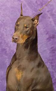 Doberman Warlock : 8 Cool Warlock Doberman Puppies For ...