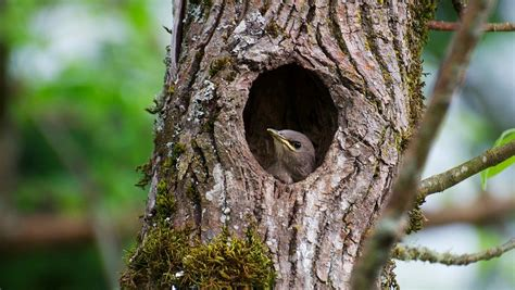 european starling facts classification habitat life